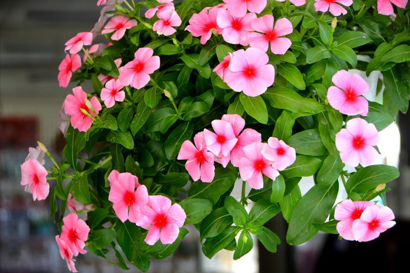 Hoa dừa cạn có màu sắc khá đa dạng. Ảnh minh họa.