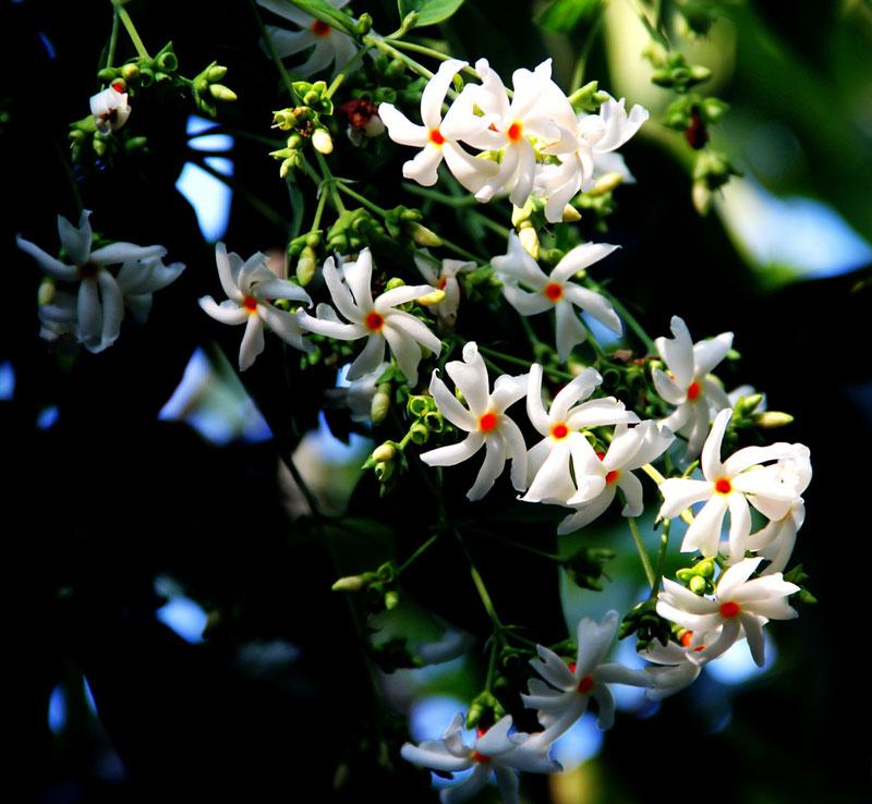 Dạ hoa là loại cây gỗ hoặc cây bụi cao khoảng 10m, nhánh có lông nằm, cứng.