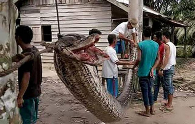 Xác trăn dài 7 mét bị treo lên dây phơi quần áo. Ảnh: Facebook.