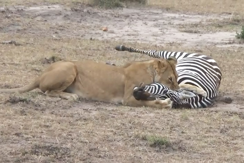 Sư tử nhọc nhằn hạ sát ngựa vằn. Sau khi bắt được ngựa vằn, sư tử cái đã tốn rất nhiều công sức mới có thể hạ sát được con mồi. (CHI TIẾT)