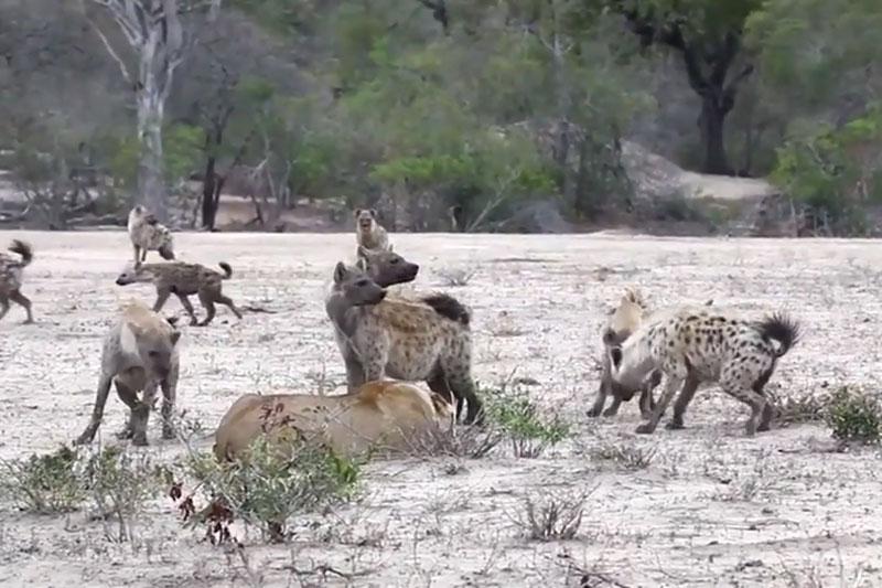 """Bầy linh cẩu đánh hội đồng khiến sư tử chạy trối chết. Việc bị gần 20 con linh cẩu tấn công đã khiến chú sư tử cái rơi vào thế bất lợi. Do đó, nó đành phải bỏ chạy """"trối chết"""" để bảo vệ tính mạng. (CHI TIẾT)"""