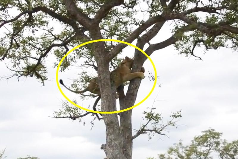 Sư tử cái phải leo lên cây để lánh nạn.