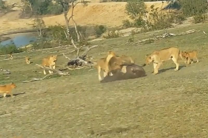 Đàn sư tử cùng nhau cắn xe trâu rừng con.