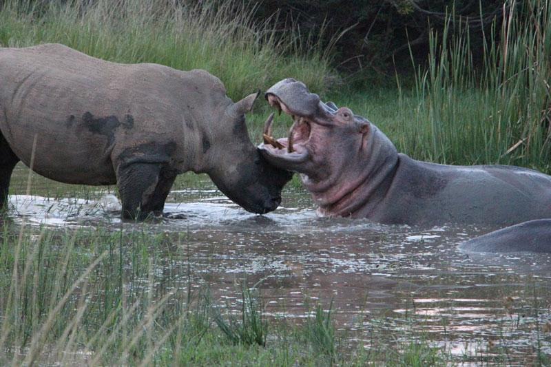 Cuộc ác đấu kinh điển giữa tê giác và hà mã. Do không ai chịu nhường nhịn đối thủ nên con hà mã và chú tê giác đã lao vào nhau ác chiến dữ dội. Rất may là nhờ vào lớp da dày bảo vệ, cả hai đều tránh được việc gặp phải những chấn thương nghiêm trọng. (CHI TIẾT)