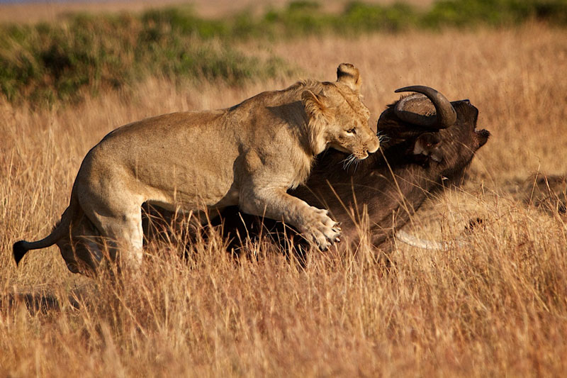 5 pha sát hại trâu rừng trong nháy mắt của sư tử. Dù trâu rừng rất khỏe mạnh và có nhiều vũ khí lợi hại để chống lại kẻ săn mồi, nhưng chúng vẫn không thể tránh thoát khỏi cái chết khi rơi vào tầm ngắm của những con sư tử. (CHI TIẾT)