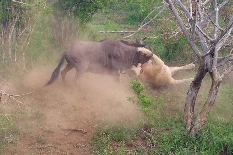 Linh dương đầu bò cố gắng vùng vẫy sau khi bị sư tử bắt.