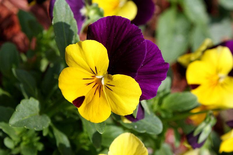 Người đời đã yêu mến tặng cho loài hoa này nhiều biệt danh khác nhau, mà quen thuộc nhất có lẽ là