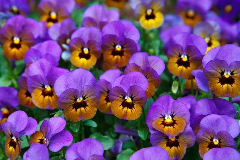 Trong tiếng Anh, hoa có tên là pansy, tiếng Pháp là pensée.