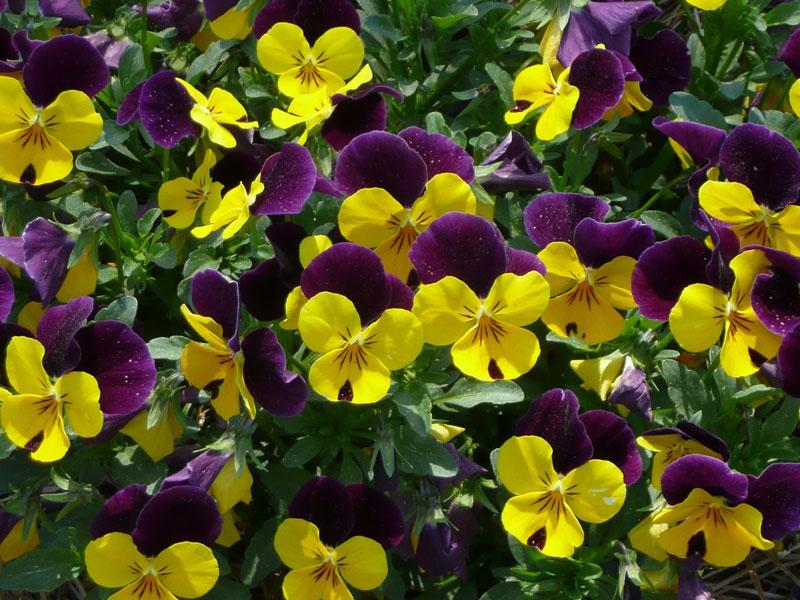 Hoa păng xê có đường kính từ 2 - 8cm.