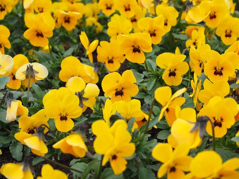 Hoa thường nở từ tháng 11 đến tháng 5 năm sau.