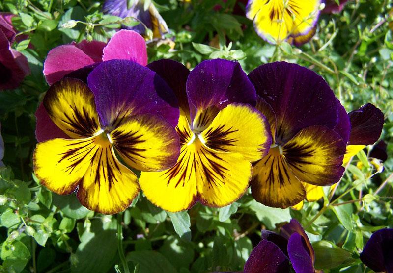 Hoa có nguồn gốc từ châu Âu, vùng Tây Bắc châu Á.