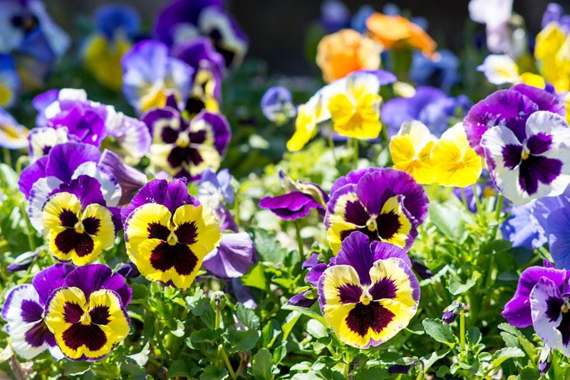 Hoa có màu sắc khá đa dạng từ vàng, xanh lam, màu cam, đỏ, trắng, tím…