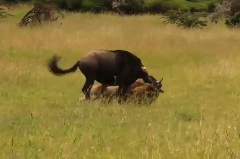 Linh dương đầu bò dễ dàng bị sư tử cái bắt được.