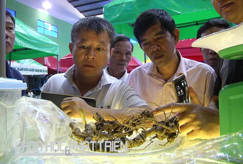 Sâm Ngọc Linh được giới thiệu ở phiên chợ sâm núi Ngọc Linh tổ chức từ ngày 1-3/10 tại huyện Nam Trà My, Quảng Nam. Ảnh: Q. Nam