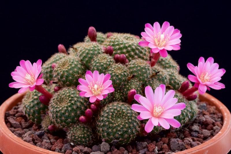 Họ Xương rồng có danh pháp khoa học là Cactaceae. Loài này thường là các loài cây mọng nước hai lá mầm và có hoa.