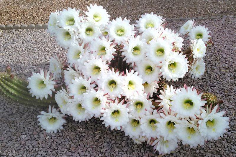 Phần lớn có đài hoa (từ 5 - 50 cái hoặc hơn), thay đổi dạng từ ngoài vào trong, từ lá bắc đến cánh hoa. Số lượng nhị rất lớn, từ 50 đến 1.500 (hiếm khi ít hơn). Gần như tất cả các loài xương rồng có vị đắng, thi thoảng bên trong còn có nhựa đục. Một trái xương rồng chứa khoảng 3.000 hạt, mỗi hạt dài 0,4 - 12mm.