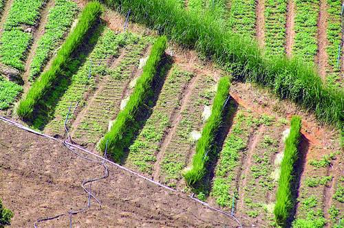 Cỏ Vetiver là một trong những loại cỏ được trồng để chống sói mòn, sạt lở.