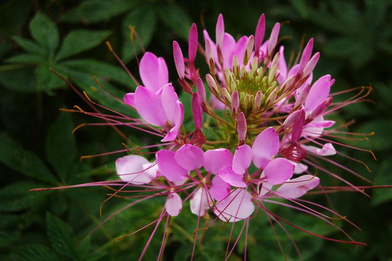 Thời gian nở hoa kéo dài từ cuối mùa Xuân đến đầu mùa Thu.