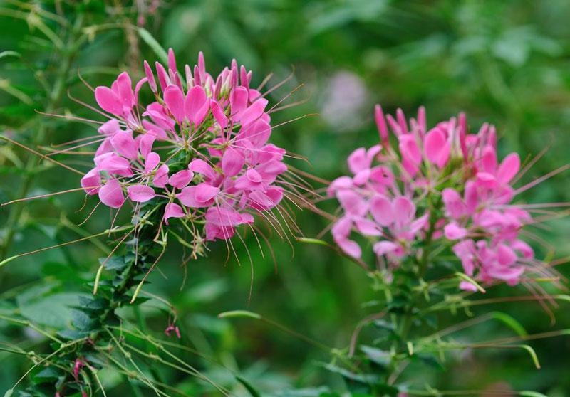 Các loài thực vật thuộc chi này phân bố khắp các vùng nhiệt đới và các vùng có khí hậu nóng ấm trên thế giới.