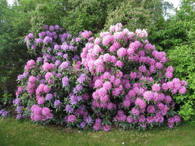 Bụi hoa đỗ quyên nở rực rỡ. Ảnh minh họa.