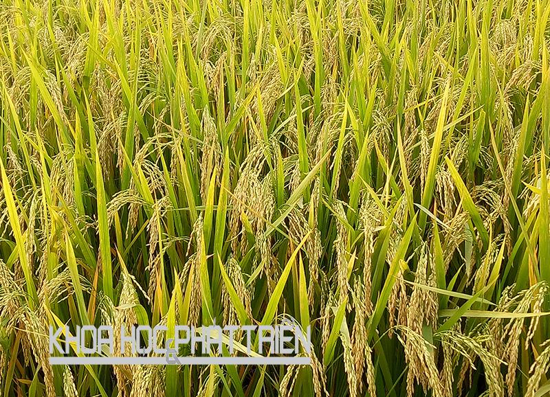 Lúa thơm Yên Dũng. Ảnh: Tiền Trịnh