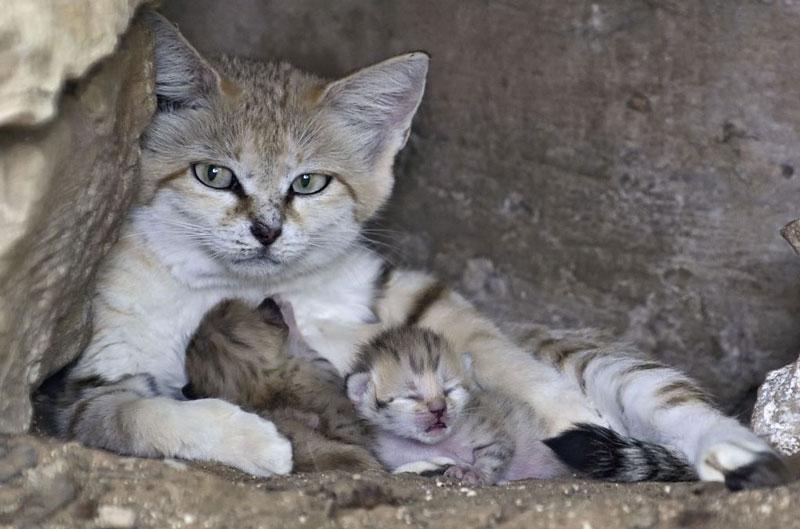 Thời kỳ động dục của chúng chỉ kéo dài từ 59-69 ngày. Loài mèo này thường mang thai từ 59-66 ngày. Mùa sinh sản kéo dài từ tháng 5-6. Mỗi lứa đẻ khoảng 3 con, mỗi năm đẻ 1 lứa (có một số nơi đẻ 2 lứa/năm).