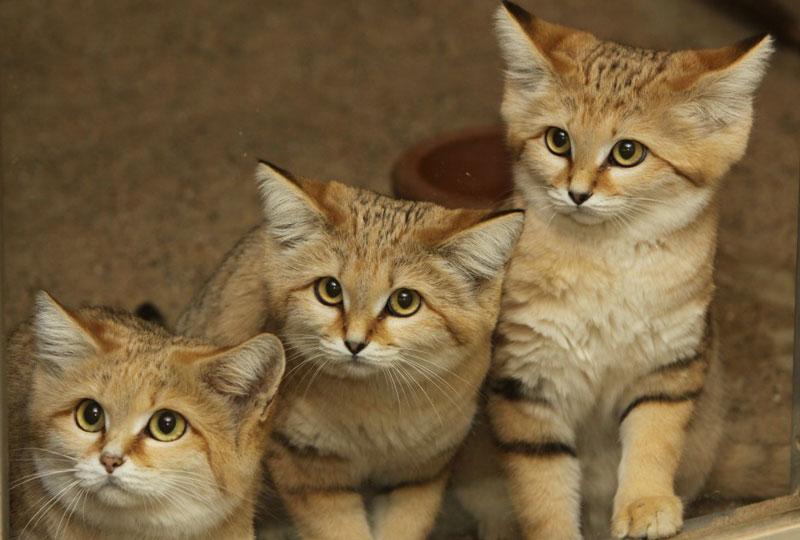 Mèo cát thích sống ở các hoang mạc có địa hình bằng phẳng, không gợn sóng và có thảm thực vật phân bố thưa thớt.