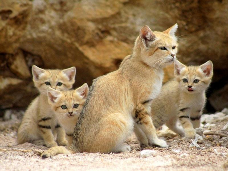 Giống mèo này có đuôi dài, đôi tai lớn và nhọn nhưng chân lại ngắn. Chiều dài đầu và thân của chúng chỉ dài khoảng 39 - 57cm. Đôi tai to của chúng phục vụ rất tốt cho việc săn mồi.