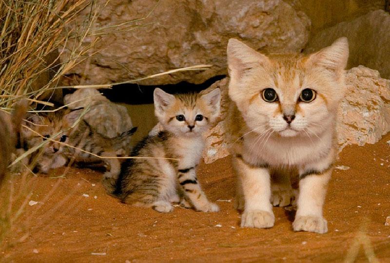 Mắt của mèo cát có màu xanh và rất lớn, còn mũi thì màu đen. Tai và chân của chúng cũng có các vằn đen, trên mặt thì có các vằn đỏ chạy từ má tới vành ngoài của mắt.