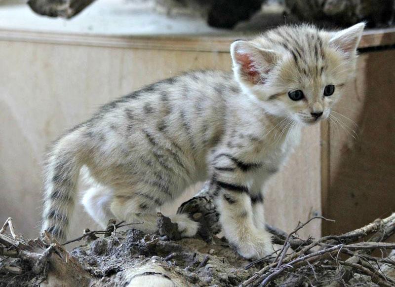 Hiện nay, mèo cát được nuôi nhốt ở một số nơi trên thế giới. Tuy nhiên, ở môi trường này chúng dễ bị bệnh và chết.