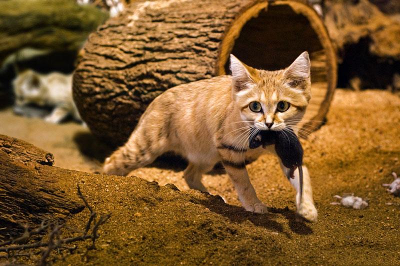 Mèo cát thường sống đơn độc, trừ mùa giao phối. Tới lúc sinh sản, chúng sẽ đào hang để sinh sản và hoạt động trong đó. Thông thường hang của chúng sâu khoảng 3m.