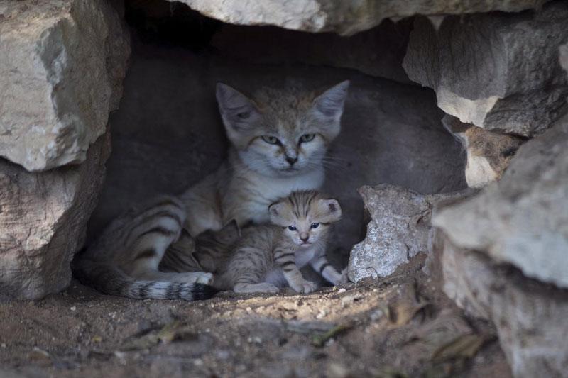 Mèo cát có tên khoa học là Felis margarita. Ở môi trường tự nhiên, mèo đụn cát phân bố chiểu yếu ở vùng sa mạc Châu Phi và Châu Á.