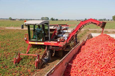 Máy thu hoạch cà chua phụt quả sang thùng xe chạy bên cạnh. Ảnh: castanet.net