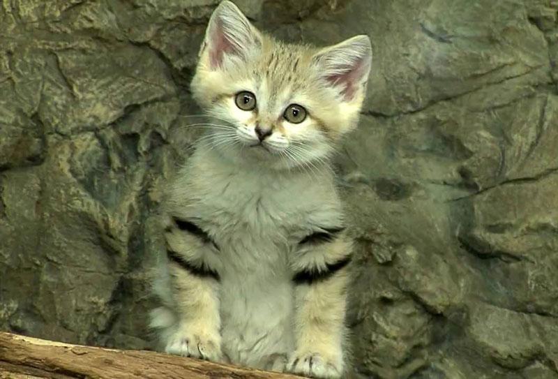 Loài mèo này có kích thước khá nhỏ, trung bình mỗi con nặng từ 1,4 - 3,4kg.