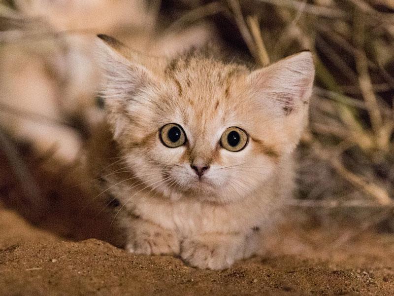 Chúng ở trong hang cả ngày và chỉ ra ngoài lúc chạng vạng tối để săn mồi. Chúng ưa thích ăn chim, côn trùng, thằn lằn và một số loài gặm nhấm.