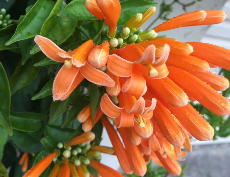 Ở Việt Nam, cây chùm ớt được trồng rộng rãi khắp nơi, nhưng phổ biến nhất là các tỉnh miền Nam.