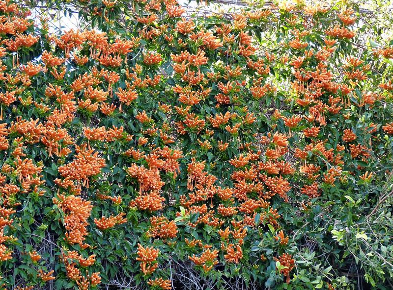 Hoa có màu cam, ở nách lá và rũ xuống. Hoa có 4 cánh, nhị hoa màu vàng, nhụy hoa trắng.