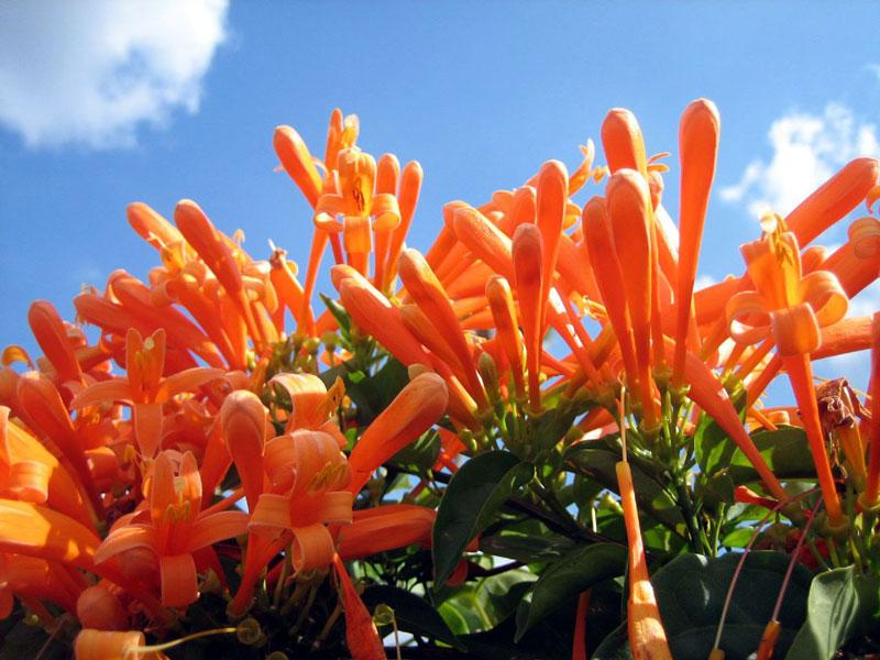 Hoa chùm ớt là loại hoa lưỡng tính, hình ống nhỏ, dài từ 3 - 4cm. Hoa có màu cam, ở nách lá và rũ xuống. Hoa có 4 cánh, nhị hoa màu vàng, nhụy hoa trắng.