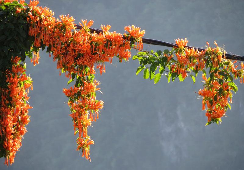 Dây chùm ớt có thể cao tới 20m.