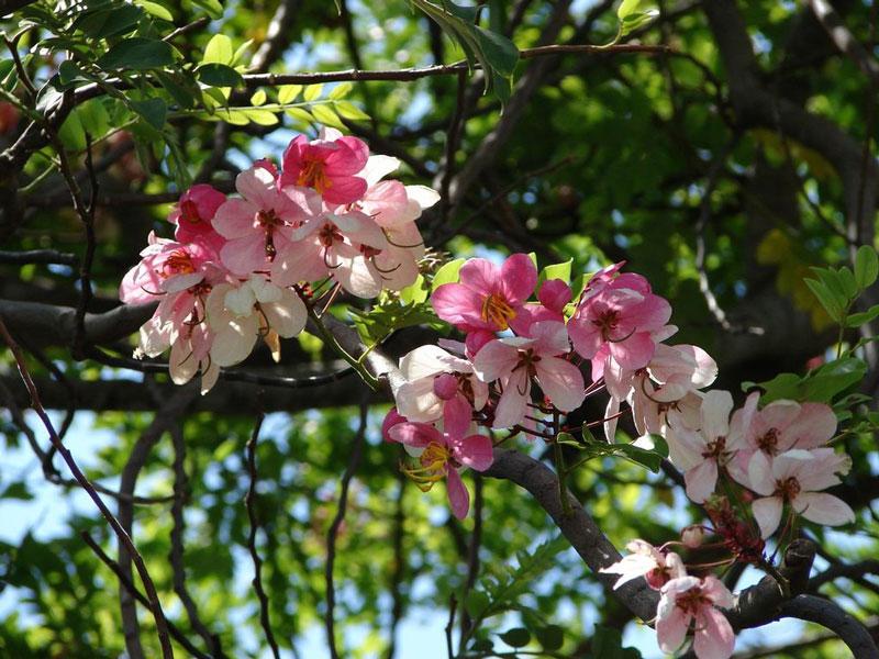 Ở Việt Nam, loài hoa này được trồng phổ biến ở một số tỉnh Đông Nam Bộ (Tây Ninh, Đồng Nai) và khu vực Tây Nguyên (Đắk Lắk, Gia Lai, Kon Tum).