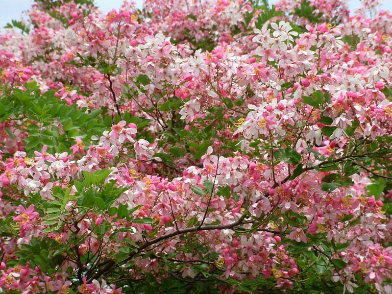 Cây muồng hoa đào là loài thân gỗ nhỏ, thường cao từ 10 - 20m, đường kính trung bình khoảng 60cm.