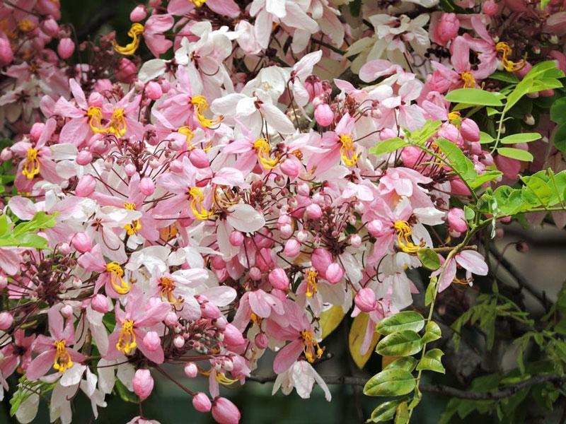 Hoa thường nở từ tháng 7-11, hoa tuy mau tàn nhưng sai nên rất đẹp.