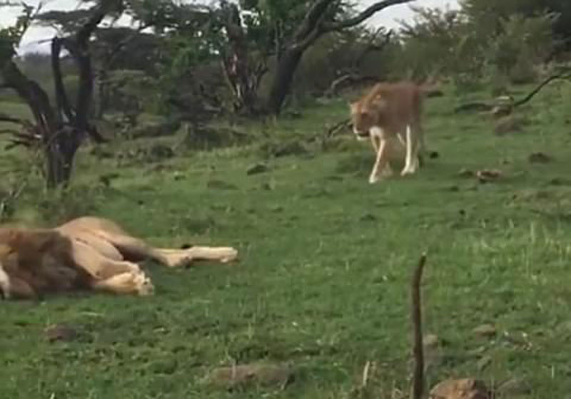 Khi đang nằm nghỉ ngơi, con sư tử đực trẻ tuổi đã được một chú sư tử cái tới quyến rũ.