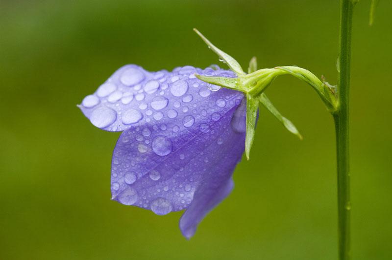 Hoa chuông xanh thường nở từ tháng 1-5 (tùy vào điều kiện khí hậu).