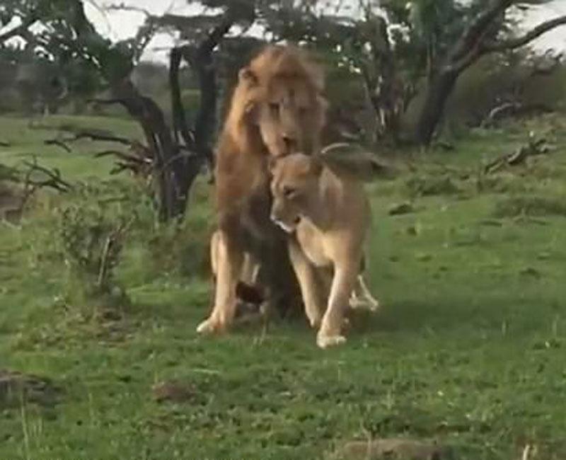 Không từ chối đối phương, chú sư tử này nhanh chóng thức dậy để âu yếm bạn tình.