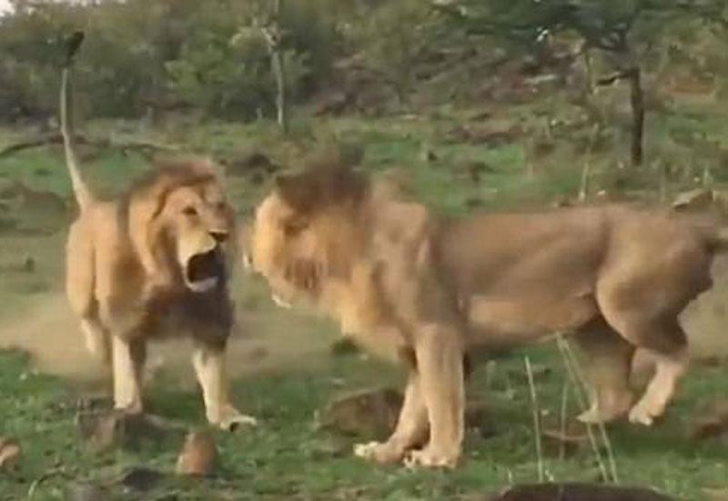 Không chịu nhún nhường, con sư tử trẻ tuổi cũng quay lại tấn công người anh của nó.