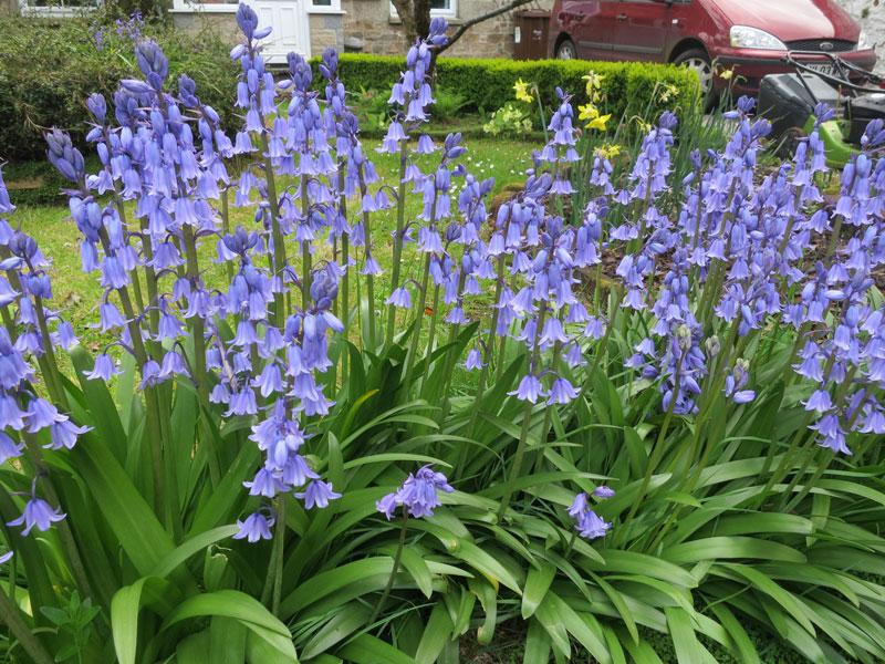 Loài hoa này có nguồn gốc từ các nước châu Âu.