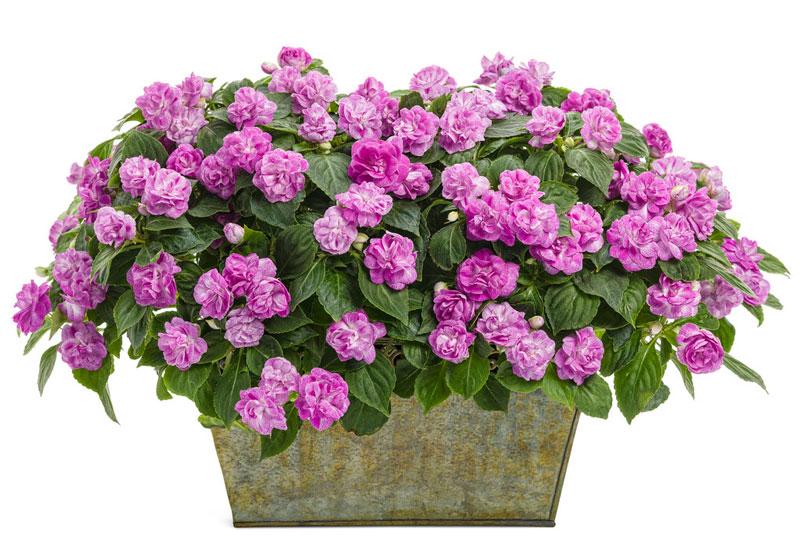 Hoa ngọc thảo rất dễ trồng, dễ chăm sóc. Nó ưa phát triển ở nền nhiệt dưới 30 độ C.