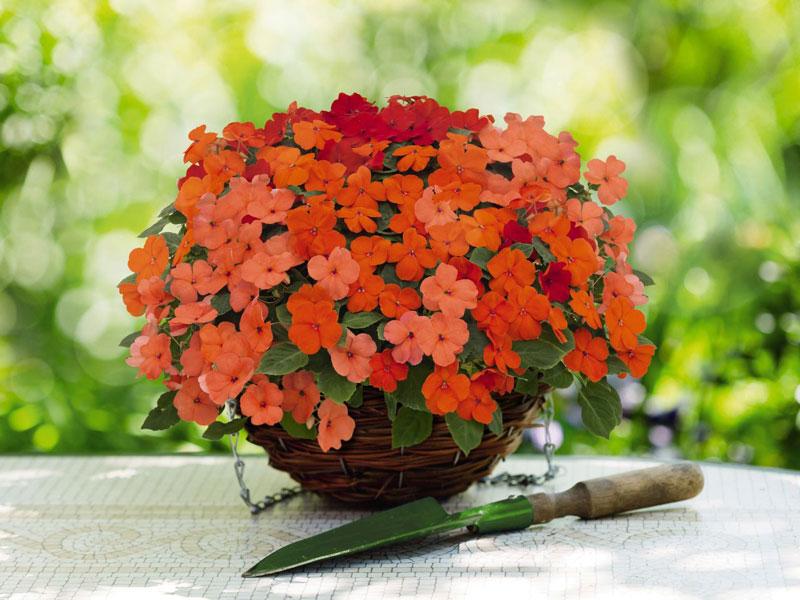 Đây là loại thực vật có hoa trong họ Bóng nước (Impatiens balsamina).