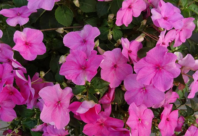 Hoa ngọc thảo có nguồn gốc ở Đông Phi (từ Kenya đến Mozambique).